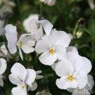 Kolokolo Store Viola White Perfection 50 Seeds BOGO 50% off SALE