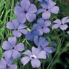 Kolokolo Store Viscaria Blue Angel 100 Seeds BOGO 50% off SALE