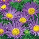 Kolokolo Store daisy, TAHOKA DAISY, prairie aster, VIOLET BLUE flower, 135 SEEDS GroCo* USA