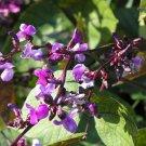 Kolokolo Store hyacinth PURPLE HYACINTH BEAN VINE 10 SEEDS GroCo  SHIPS  W 10 ITEM PURCH