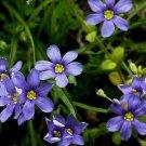 Kolokolo Store blueeyed grass, FLOWERING PERENNIAL, blue flower, 145 seeds GroCo buy US USA*