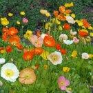 Kolokolo Store poppy, ICELAND, perennial poppies, flower, 725 SEEDS GroCo*