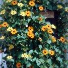 Kolokolo Store blackeyed susan vine, THUNBERGIA, Yellow flower  55 SEEDS GroCo