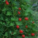 Kolokolo Store cardinal climber vine, HUMMINGBIRDS, red flowers, 18 seeds GroCo