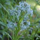 Kolokolo Store shining blue star, AMSONIA ILLUSTRUS, perennial BLUE flower 10 seeds GroCo USA