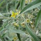 Kolokolo Store russian olive, SILVER BERRY, shrub, 10 seeds GroCo US USA