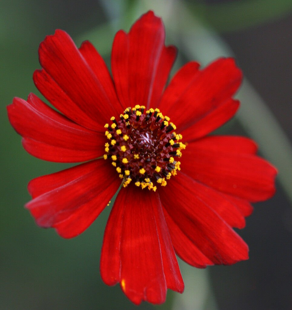 Kolokolo Store coreopsis, PLAINS, DWARF RED , 450 seeds GroCo
