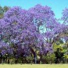 Kolokolo Store jacaranda, JACARANDA MIMOSIFOLIA, blue flowering TREE, 50 seeds GroCo