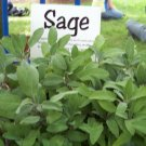 Kolokolo Store sage, PERENNIAL HERB Garden, Salvia Officinalis 200 SEEDS GroCo buy USA
