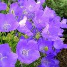 Kolokolo Store bellflower, tussock (CAMPANULA) lavender blue flower, 560 seeds GroCo* buy USA