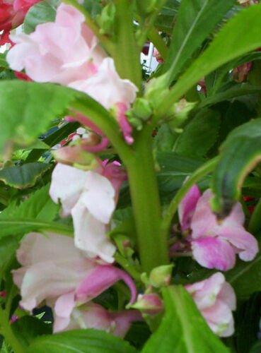 Kolokolo Store balsam, CAMELLIA camelia FLOWERED,, 200 SEEDS GroCo
