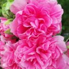 Kolokolo Store hollyhock, SUMMER CARNIVAL MIX, 22 SEEDS GroCo