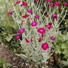 Kolokolo Store rose campion, SUN PERENNIAL, pink flower, 450 SEEDS GroCo*