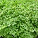 Kolokolo Store chervil, FRENCH PARSLEY, herb spice seeds GroCo* buy US USA