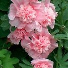 Kolokolo Store hollyhock, CHATERS DOUBLE MIX, 10 SEEDS GroCo
