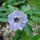 Kolokolo Store shoo fly, nicandra, SHOOFLY, lavender blue flowers, 25 seeds GroCo*.