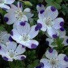 Kolokolo Store five spot, UNUSUAL, EYECATCHING, purple flower, 500 seeds GroCo.