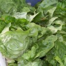 Kolokolo Store lettuce, BUTTERCRUNCH, BUTTER CRUNCH, 875 seeds GroCo US USA