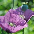 Kolokolo Store poppy, LAVENDER flower, rare color, 1000 SEEDS GroCo