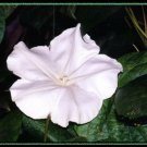 Kolokolo Store moonflower, NIGHT moon FRAGRANT BLOOMING VINE white flower, 11 SEEDS GroCo# USA