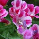Kolokolo Store farewell to spring, PINK CLARKIA, 600 seeds GroCo USA