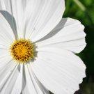 Kolokolo Store cosmos, WHITE PSYCHO, annual flower, 75 seeds GroCo buy US USA