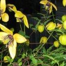 Kolokolo Store clematis, AZTEK YELLOW, perennial vine, 15 seeds, GroCo*