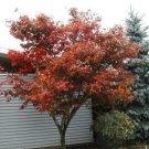 Kolokolo Store maple, RED JAPANESE MAPLE tree, or bonsai, 15 SEEDS GroCo US USA