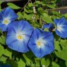 Kolokolo Store morning glory vine, HEAVENLY BLUE climbing trumpet flower, 18 SEEDS GroCo