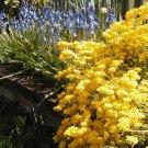 Kolokolo Store alyssum, GOLDEN TUFT, basket of gold, yellow flower, 100 seeds GroCo* buy USA