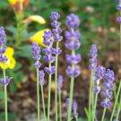 Kolokolo Store lavender, VERA, TRUE ENGLISH, herb, 350 SEEDS GroCo