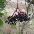 Kolokolo Store elderberry, BLACK ELDERBERRY tree berry, 35 seeds GroCo buy US USA*