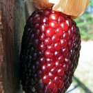 Kolokolo Store corn, STRAWBERRY POPCORN, 24 seeds GroCo US USA