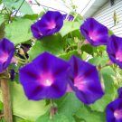Kolokolo Store morning glory vine, GRANDPA OTT, purple flowers, 95 SEEDS GroCo buy US USA