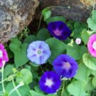 Kolokolo Store morning glory mix, red/ blue flowers, 75 SEEDS GroCo