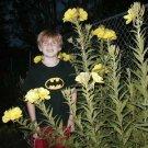 Kolokolo Store primrose, evening 1000 seeds, RESEEDS EASILY GroCo buy US USA
