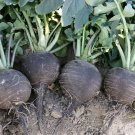 "Kolokolo Store radish, BLACK SPANISH ROUND white inside, GIANT 34"" across 50 seeds GroCo USA"