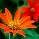 Kolokolo Store sunflower, MEXICAN SUNFLOWER 'Torch', red fower, 40 seeds GroCo US USA