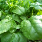 Kolokolo Store spinach, BLOOMSDALE LONG STANDING, 45 seeds GroCo buy US USA