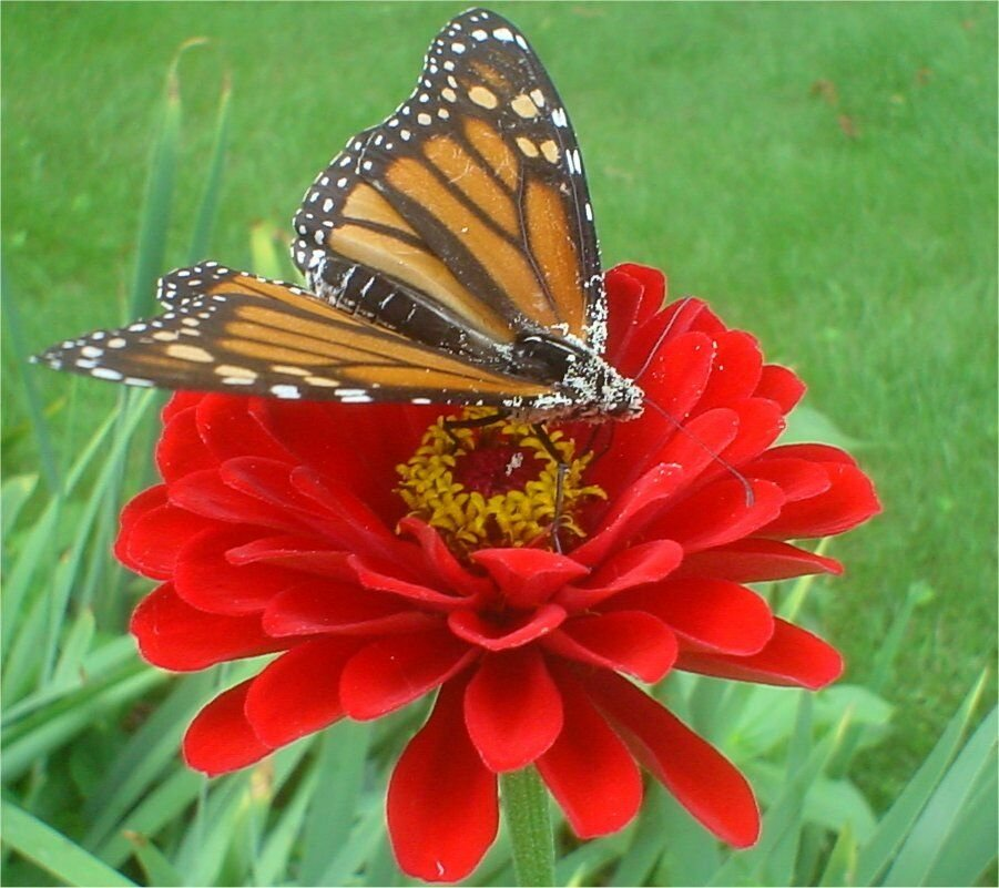 Kolokolo Store zinnia, CHERRY QUEEN, dark red double, 150 seeds GroCo US USA
