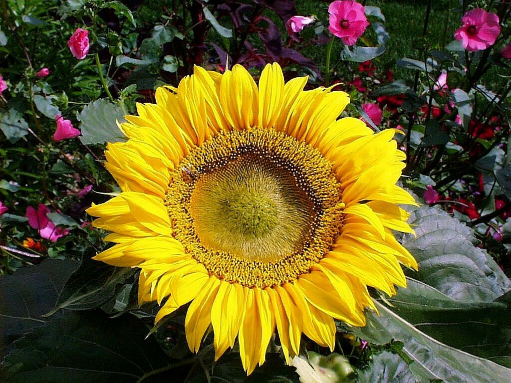 Kolokolo Store sunflower, SUNSPOT DWARF, 2 FT TALL, yellow flower, 45 seeds GroCo#