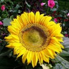 Kolokolo Store sunflower, SUNSPOT DWARF, 2 FT TALL, yellow flower, 45 seeds GroCo#