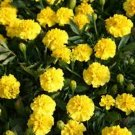 Kolokolo Store Marigold Tagetes Erecta Yellow 50 Seeds BOGO 50% off SALE