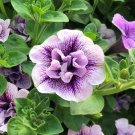 Kolokolo Store 50 Double Purple White Petunia Seeds Containers Hanging Baskets Flowers Seed 978