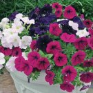 Kolokolo Store 50 White Pink Purple Mix Petunia Seeds Containers Hanging Baskets Seed Bloom 966