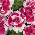 Kolokolo Store 50 Double Pink White Petunia Seeds Containers Hanging Baskets Window Bloom 963
