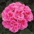 Kolokolo Store 25 Pink Eye Geranium Seeds Hanging Basket Perennial Flowers Seed Flower 997