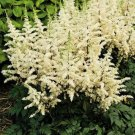 Kolokolo Store 50 White Astilbe Seeds Bunter Shade Perennial Garden Flower Bloom Chinensis 718