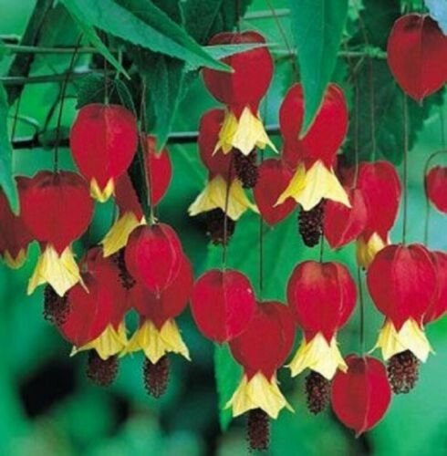 Kolokolo Store 25 Rare Red Yellow Bleeding Heart Seeds DicentraSpectabilis Shade Flower 590