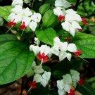 Kolokolo Store 25 Rare White Red Bleeding Heart Seeds DicentraSpectabilis Shade Flower Seed 589